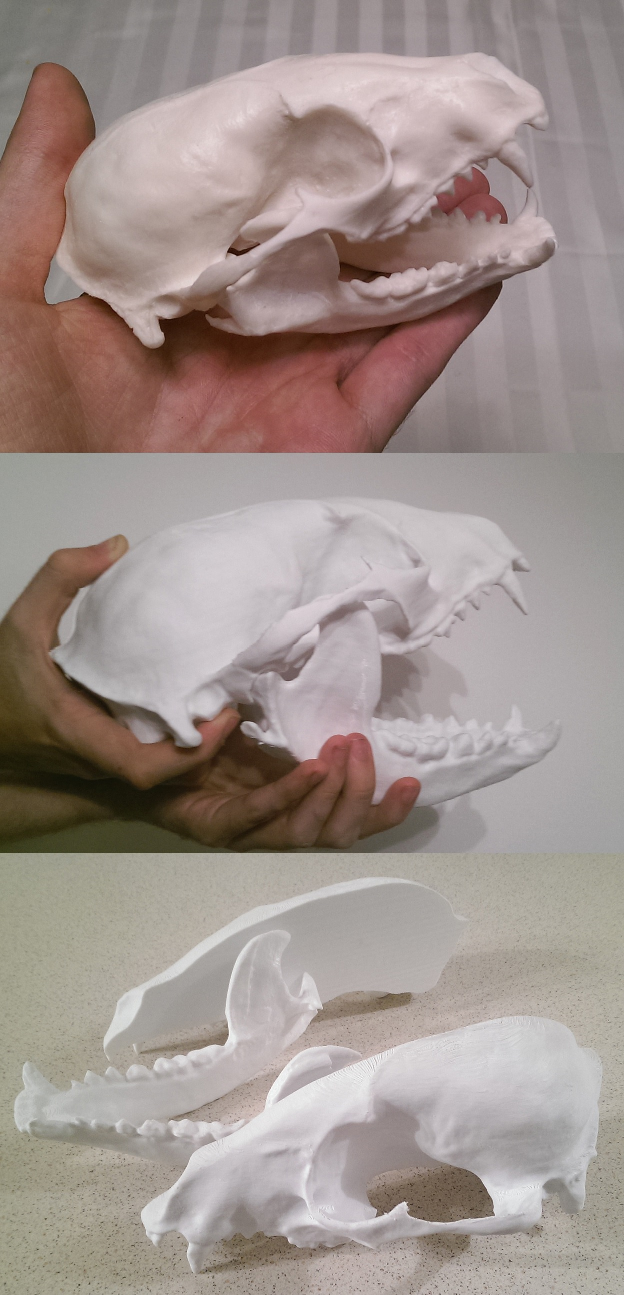 A raccoon skull that was 3D scanned and printed at larger scale to be used for a costume head